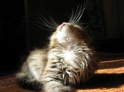 Осязание. Усы кошки - вибриссы